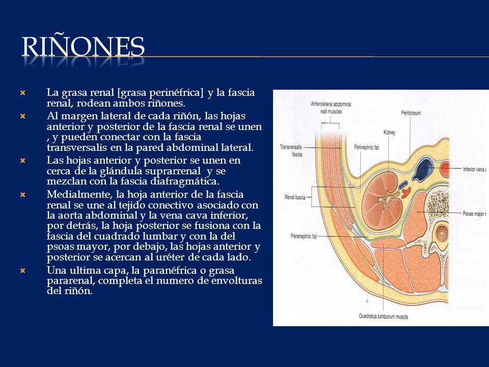 Riñones La grasa renal [grasa perinéfrica] y la fascia renal, rodean ambos riñones.